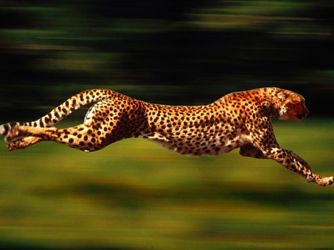 Cheetah Running — all four feet are off the ground